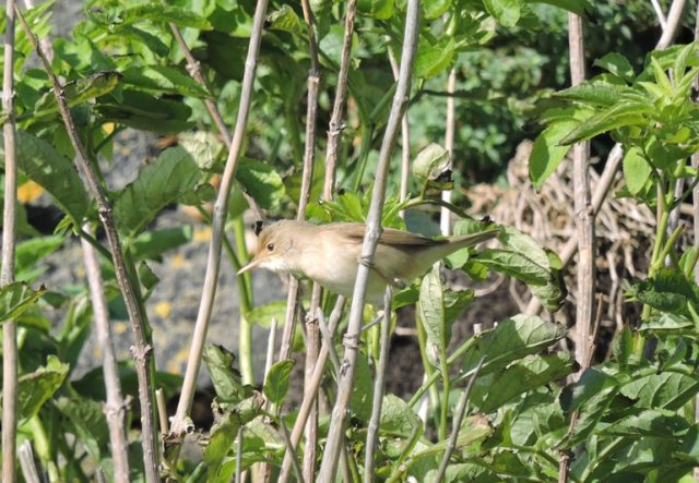 A very good scattering of migrants including several Reed Warblers (Iain English)