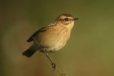 Whinchats on the move through the Isle of May (Stevie Kane)
