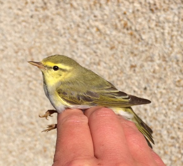 Stunning Wood Warbler caught and ringed