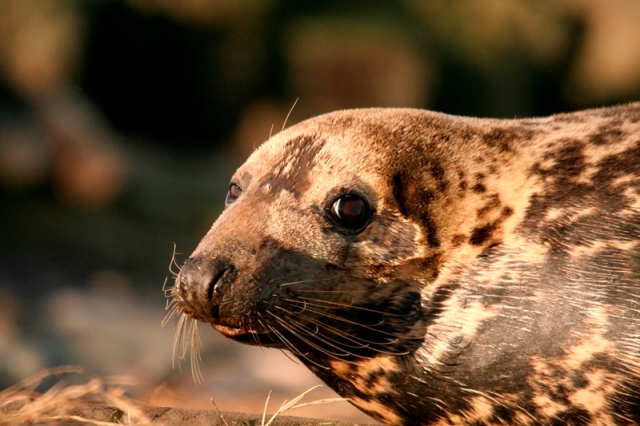 Female Seals are know as 'cows'..and you don't mess with one!