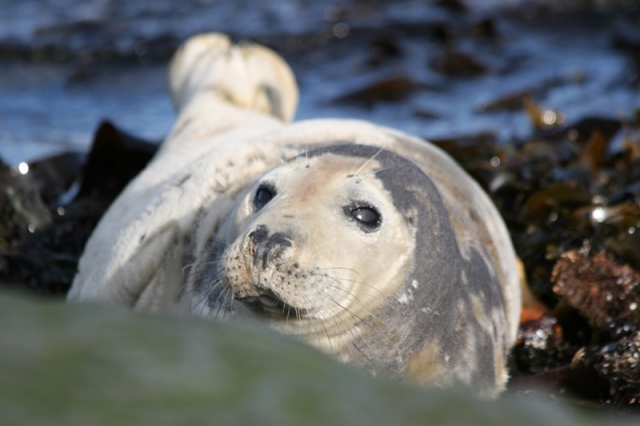 Female (known as cows) Seal basking on the rocks...come and see them on the May!