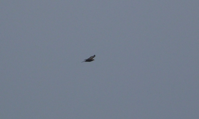 Its a distant shot but its a juvenile Honey Buzzard, only 7th record for the Isle of May (David Kinchin-smith)