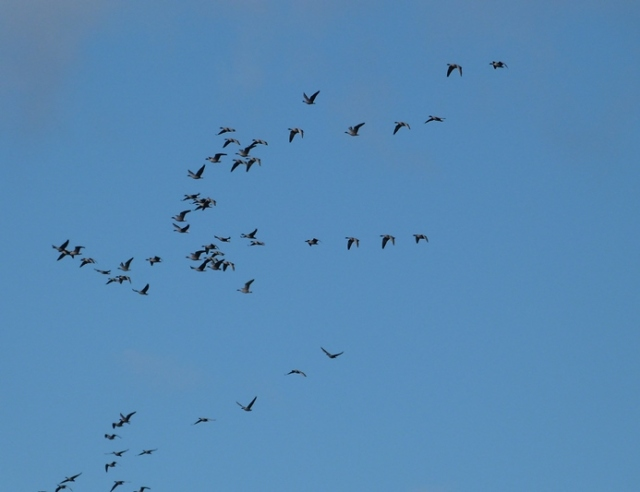 Pink-footed Geese on the move over the island today