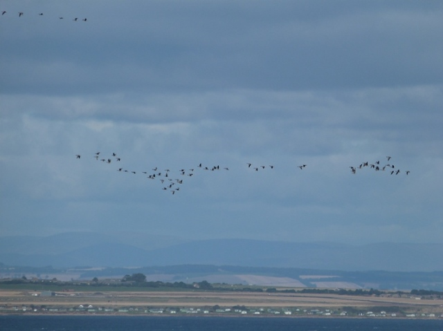 Geese galore! The first major arrival of Pink-footed Geese today