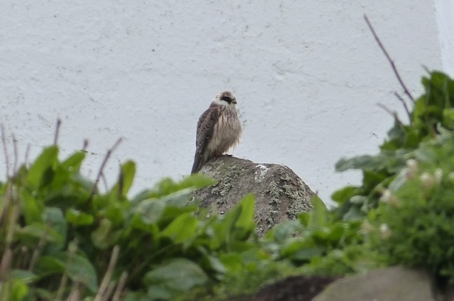 Red-footed Falcon still present this morning on Isle of May (David Kinchin-smith)