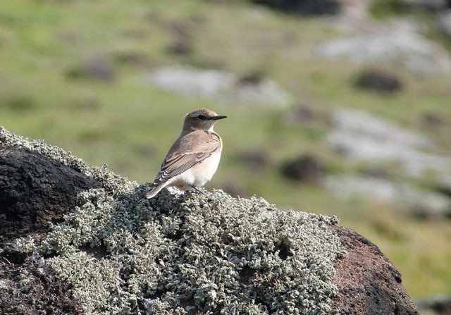A lot of common migrants on the move today including 20+ Wheatear (David Kinchin-smith)