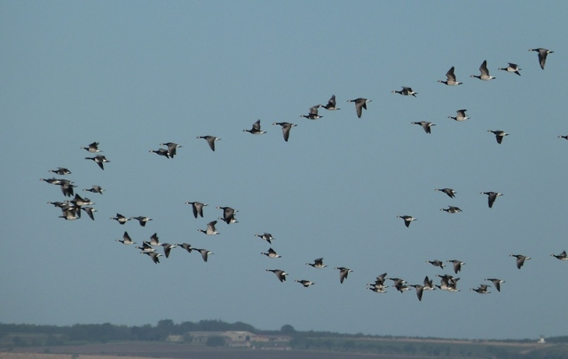 Just a pleasure to watch and listen too...migratory Barnacle Geese
