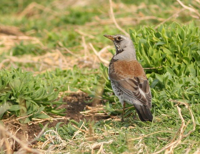 Good numbers of Fieldfare over