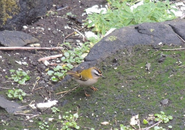 Three male Firecrest arrived over the weekend with one still present (Bex Outram)