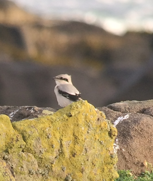 Showing well; as Great Grey Shrikes do!