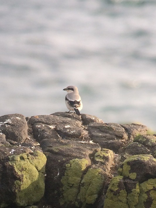 Great Grey Shrike on the Isle of May (also known as Butcher birds)