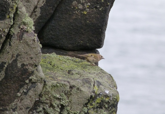 Classic island birding; Goldcrest on the cliffs!