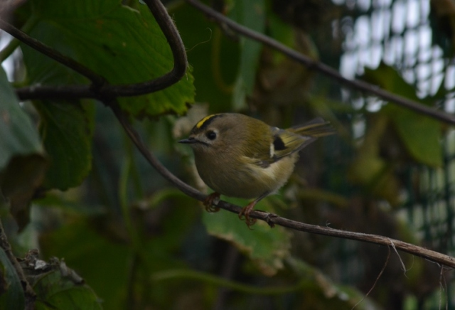 A good scattering of the UK's smallest bird; the Goldcrest (Bex Outram)