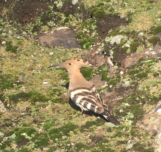 Hoopoe (refound) showing well on the Isle of May