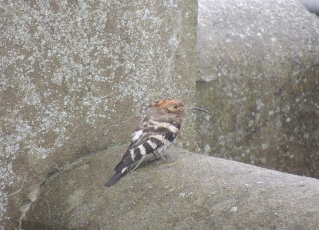 A very wet, very bedraggled Hoopoe first thing in the morning (Bex Outtram)