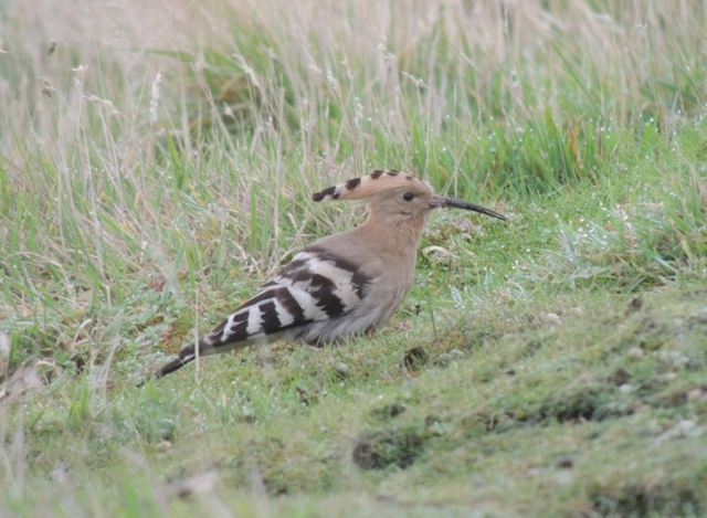 Hoopoe stayed for seven days (Bex Outram)