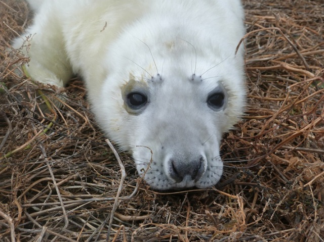 Up close to a Seal pup of the Isle of May