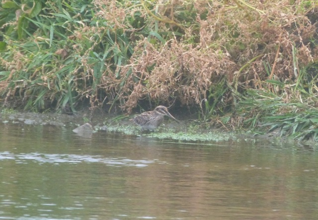 Seven up! One of seven jack Snipe present today on the island