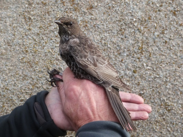 The Ring Ouzel let it be known it wasn't to happy being ringed!