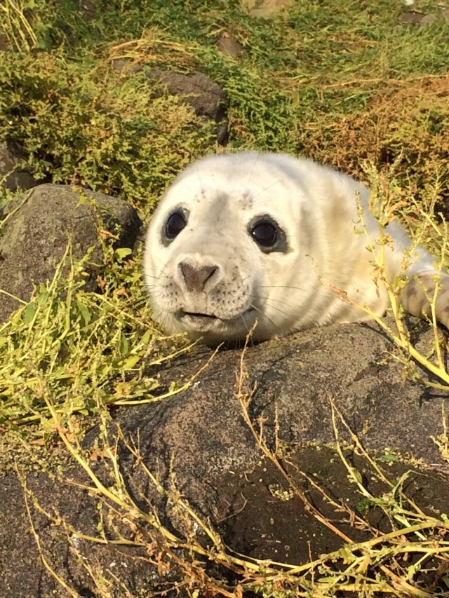 Growing strong; an Isle of May Grey Seal pup