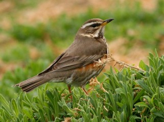 And even bigger numbers of Redwing; almost 5,000!