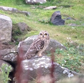 Short-eared owl...one of 11 seen together today!