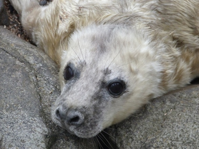 Welcome to the world little fella! An Isle of May Seal pup