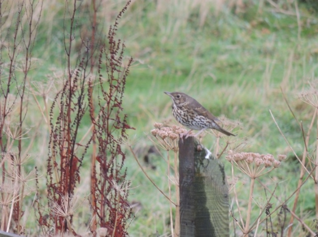 Major influx of Song Thrush with over 400 recorded today (Bex Outram)