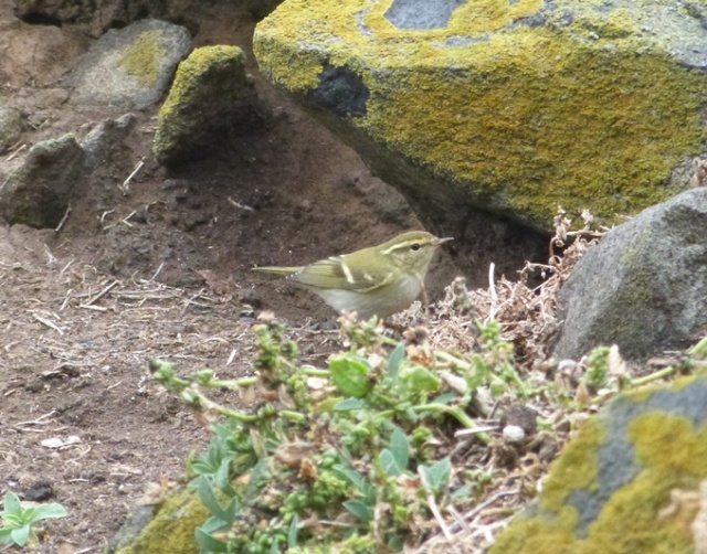 One of eight Yellow-browed Warblers today