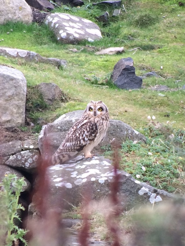 Stunning Short-eared Owl on the Isle of May