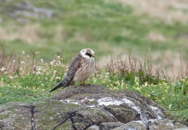 Isle of May third Red-footed Falcon in September (David Kinchin-smith)