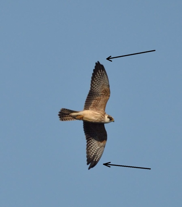 The bird on the Isle of May. Note the arrows pointing to its important wing tips