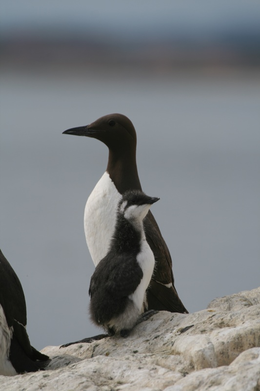 Guillemot with young