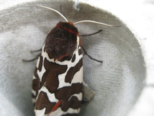 IMG_6801 Tiger Moth