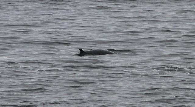 Minke Whale 2(Gordon McDonald)