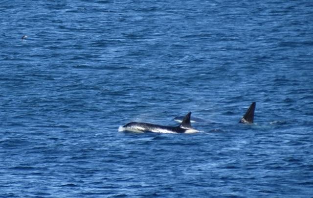 Orca B (stuart Rivers)