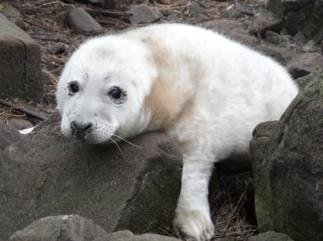 Seakl pup 1