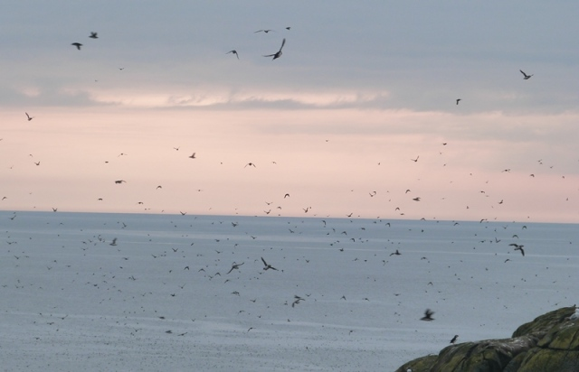 Puffins coming in