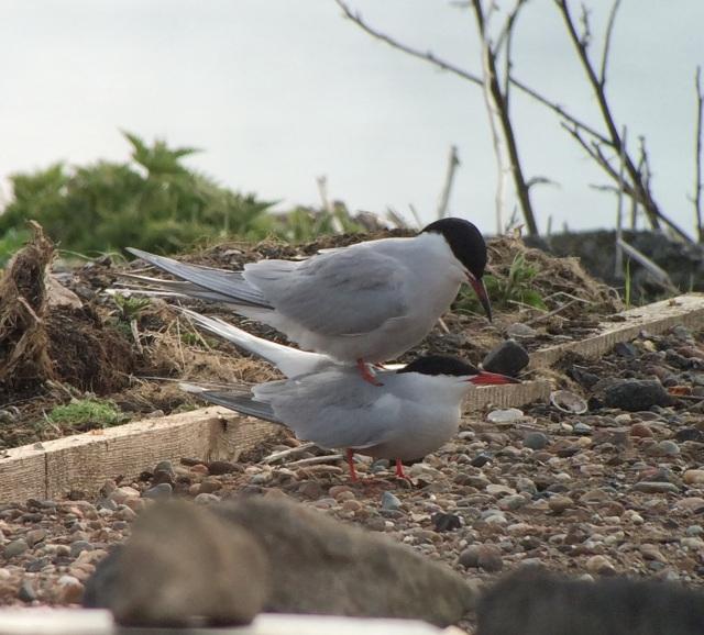 Common Terns copulating