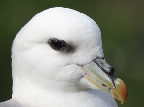 David Stafford (Fulmar