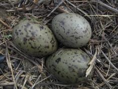 Gull egg 1