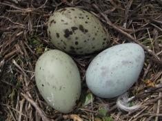 Gull egg 2