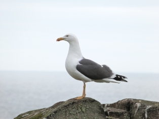 LBB Gull