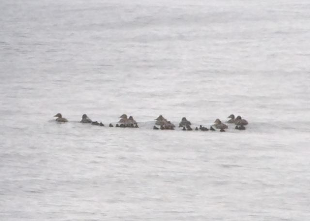 Eider ducklings leaving