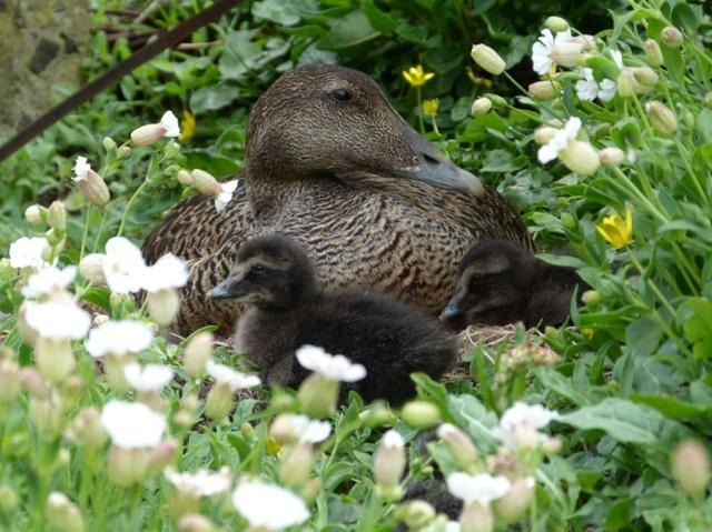 Hatching Eider