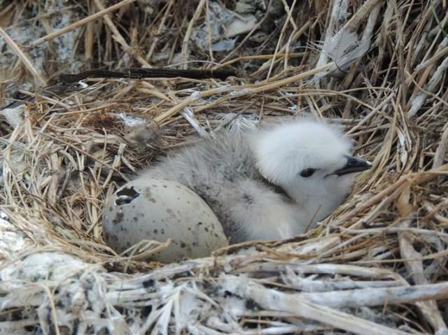 Kittiwake chick