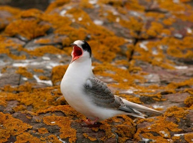 Fledger Arctic Tern