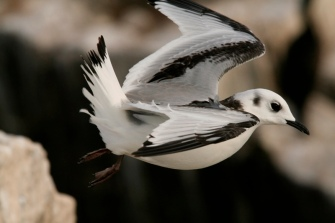 Kittiwake chick fledged