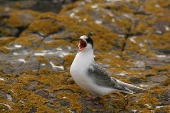 Tern chick (2)