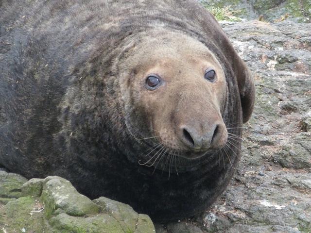 bull-seal